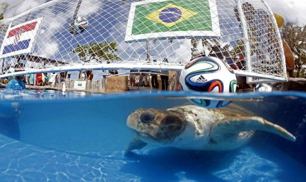 Ya no hay pulpo, ahora será una tortuga la que vaticinará la suerte de los equipos mundialistas.